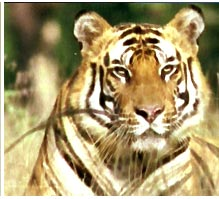 india wildlife resorts, indian wildlife resort